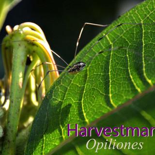 Harvestman.jpg