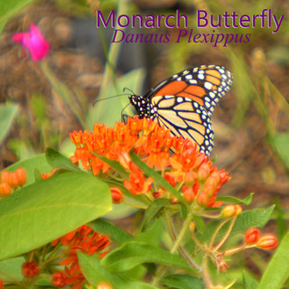 MonarchButterfly2.jpg