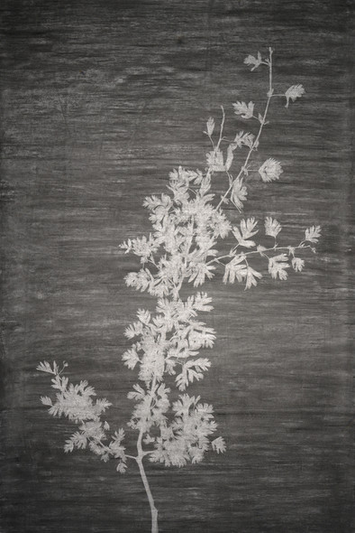 The garden of shadows (Aubépine) fusain 100 x 150 cm 2020