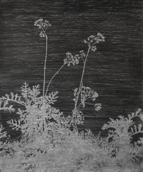 The garden of shadows (Cinéraire) fusain  180 x 150 cm 2021