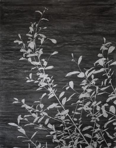 The garden of shadows (willow) fusain 152 x 190 cm 2020