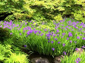 根津美術館の満開の燕子花。尾形光琳の燕子花図と共に味わえる。ブログ