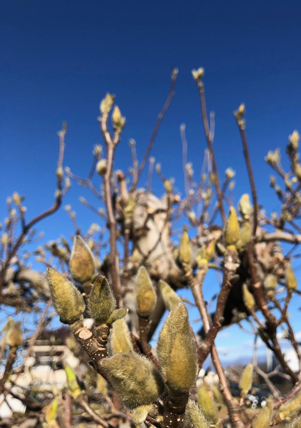 2019年。お正月の空に膨らむコブシの蕾。インテリアコーディネーターのブログ。