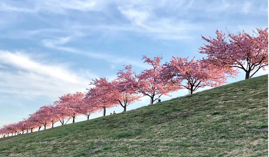 市川市、江戸川沿いの河津桜が満開でした。2019年、3月9日。インテリアコーディネーターのブログ