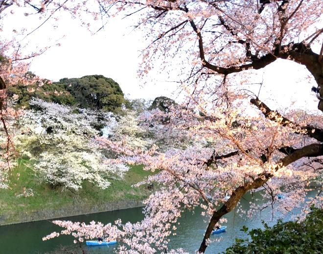 千鳥ヶ淵の桜。本当に綺麗です。インテリアコーディネーターのブログ