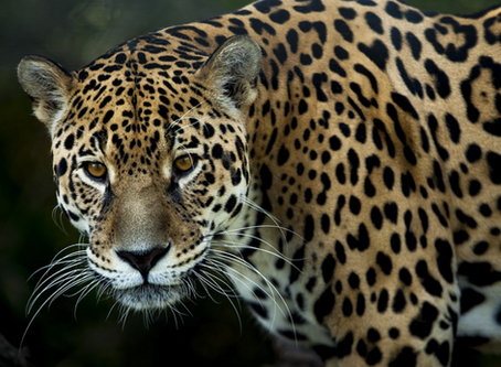 Study Finds Big Cats and Other Endangered Animals Do Best Where There's No Cell Phone Coverage