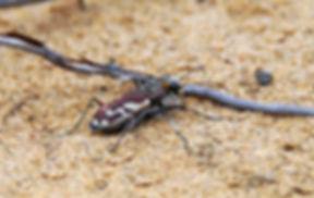 tiger beetle.jpg