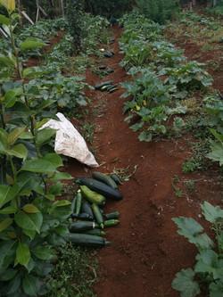 cucumber farming
