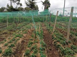 Strawberry Farming Initiative.jpg
