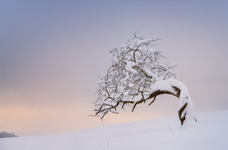 Kirschbaum Oberfrick
