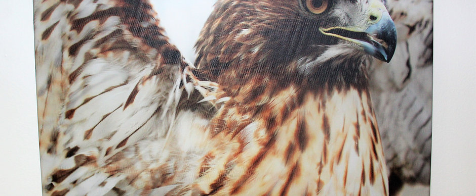 Canvas Red-Tail Hawk Print
