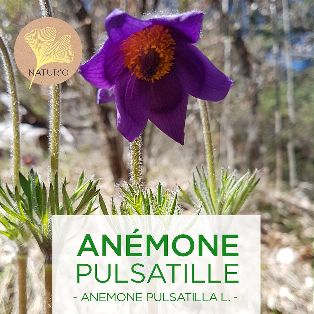 Fleur de Pulsatilla