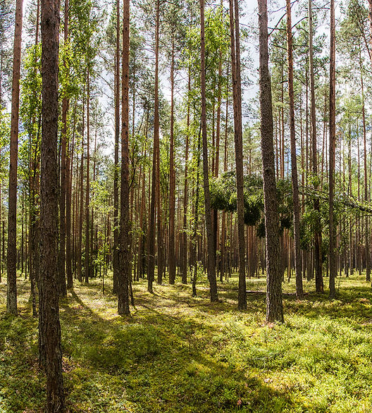 Belarus forest smaller.jpg