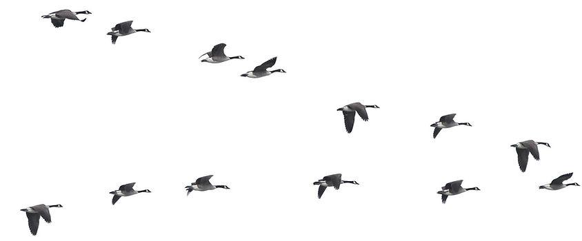 Harrold Family Farm, Canada geese