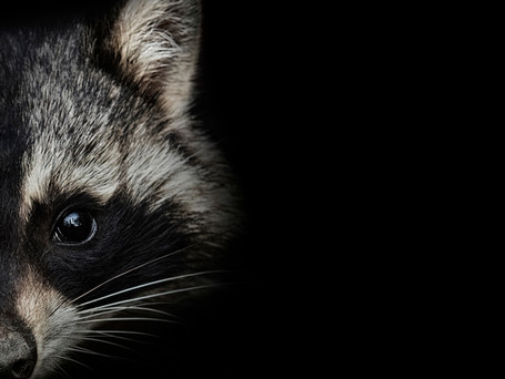 Here Come the Raccoons