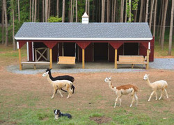 alpacas and barn