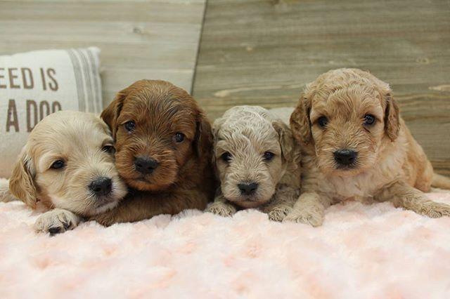 F1b Mini Goldendoodles | United States | Mini Goldendoodle Pawprints