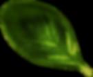 Basil Leaf13.png