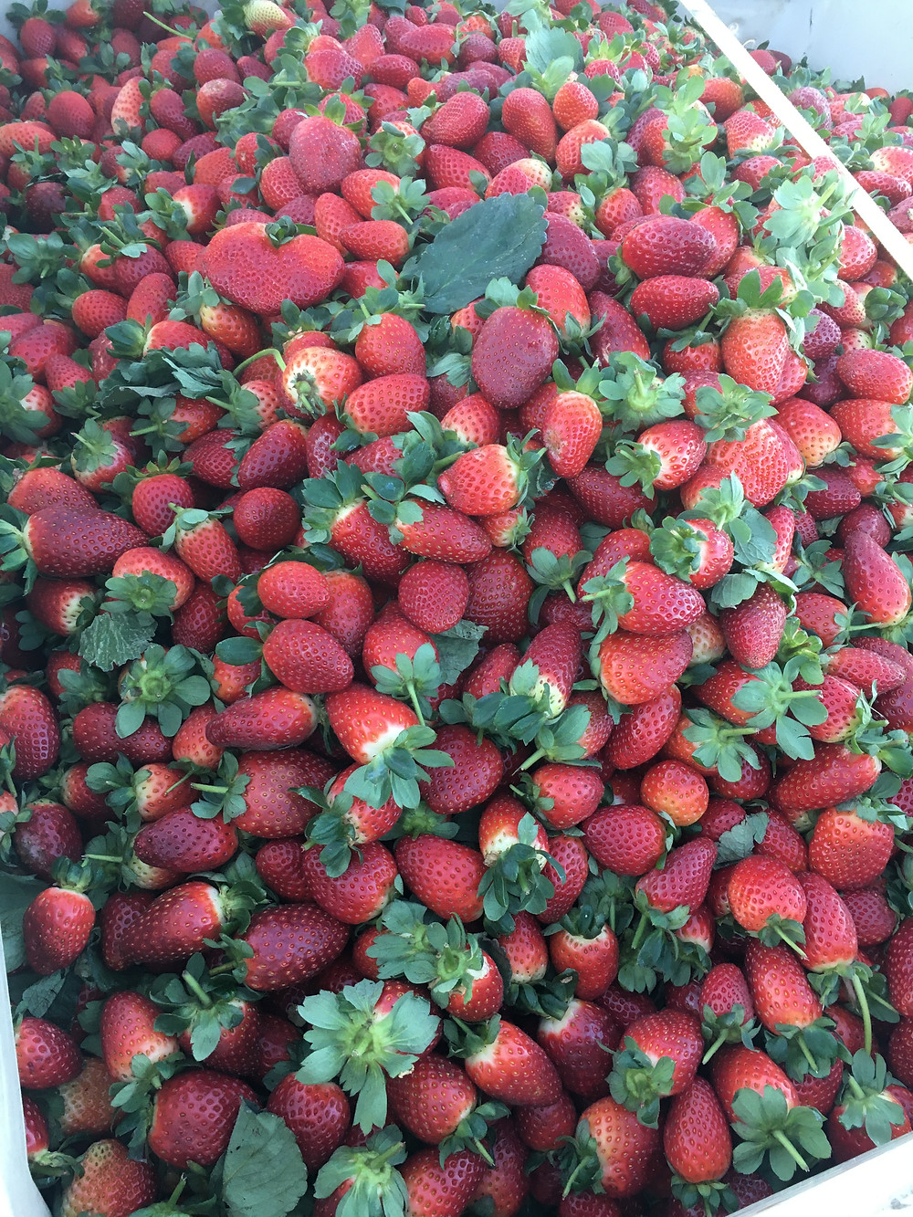 A big pile of fresh ripe red strawberries