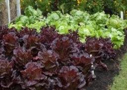Tomatoes-Lettuce-Marigolds-G014505_edite