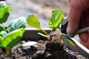 Pruning-vegetable-stem.jpg