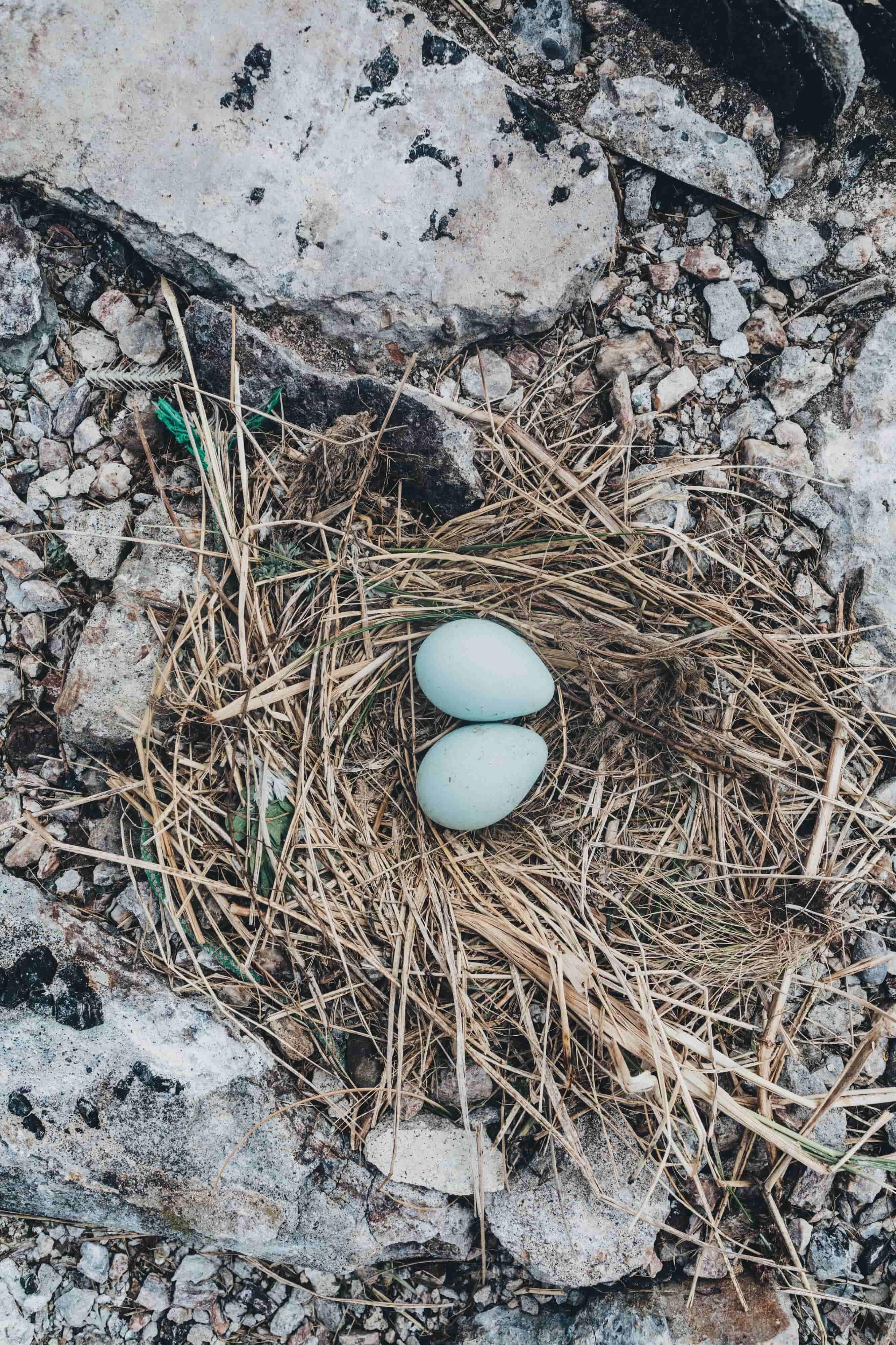 Яйца чайки