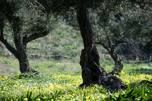 Flowers through olive trees 02 copy.jpg