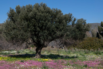 Flowery field to olive tree B 18 copy 2.
