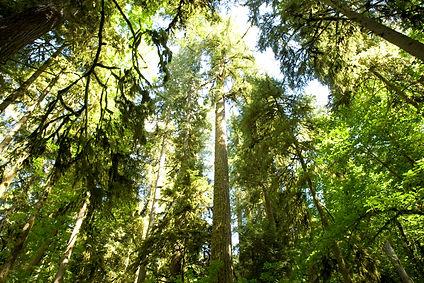 oxbow_regional_park_moss_trees_looking_u