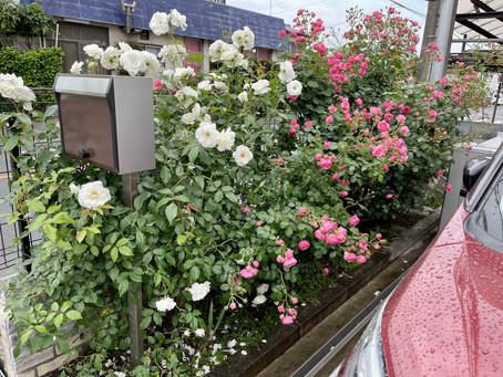 今年もバラがたくさん咲きました。