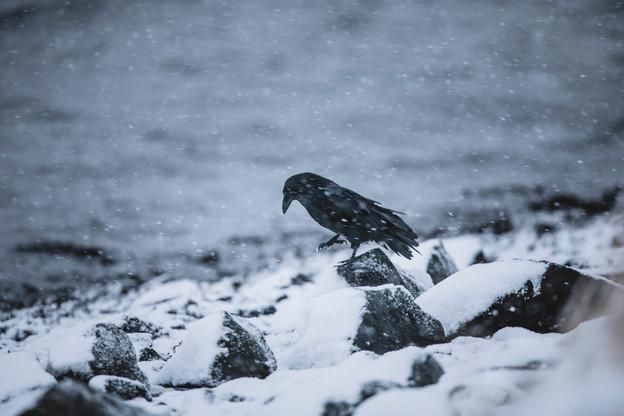 Hrafn - Raven