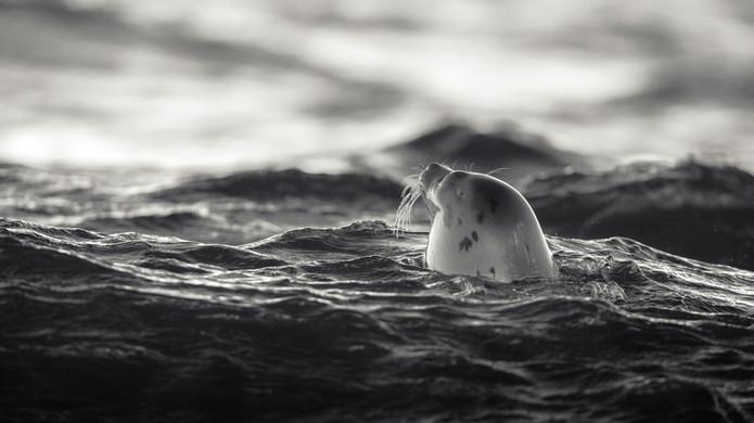 Vöðuselur - Harp seal