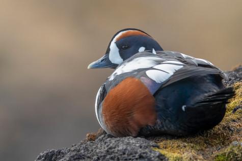 Straumönd - Harlequin Duck