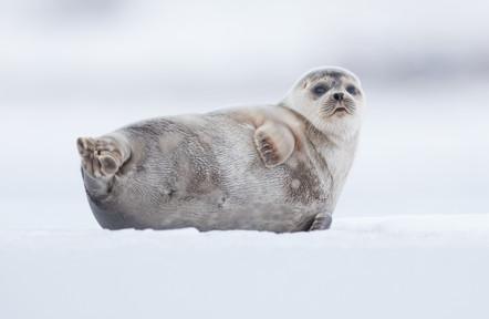 Landselur - Harbour seal