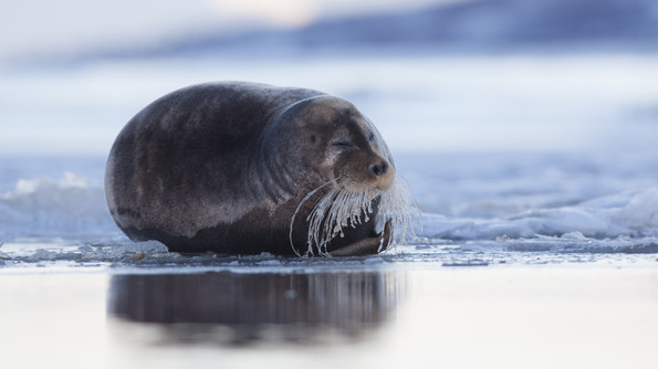 Kampselur - Bearded seal