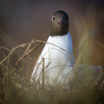 Hettumáfur - Black-headed Gull