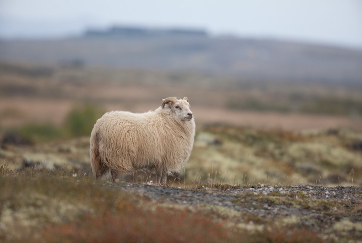 Sauðkind - Icelandic sheep