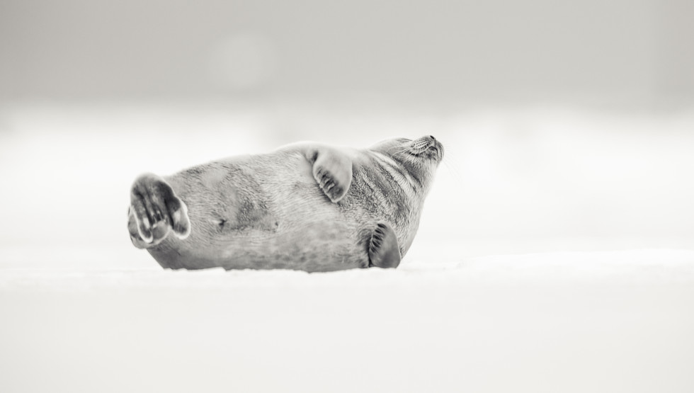 Landselur - Harbor seal