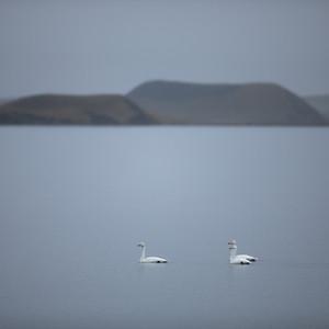 Álftir - Whooper Swans