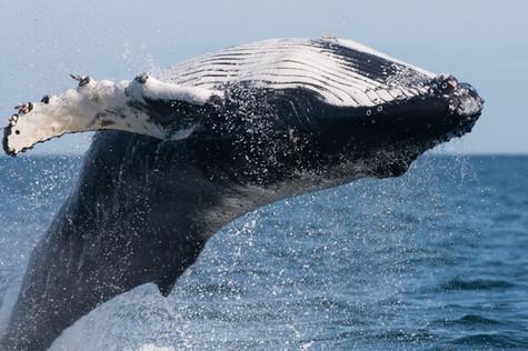 Hnúfubakur - Humpback whale