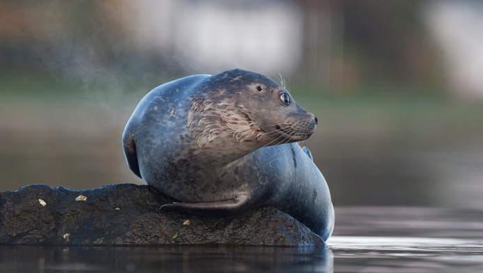Landselur - Harbour seal