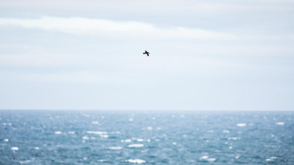 Lundi - Atlantic Puffin