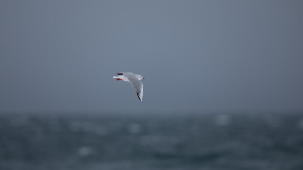 Hettumáfur - Black-backed gull