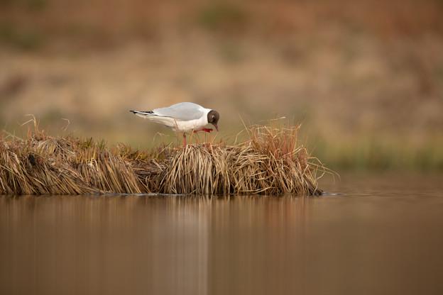Hettumáfur - Black headed gull