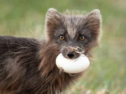 Refur - Arctic Fox