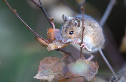 Hagamús - Wood mouse