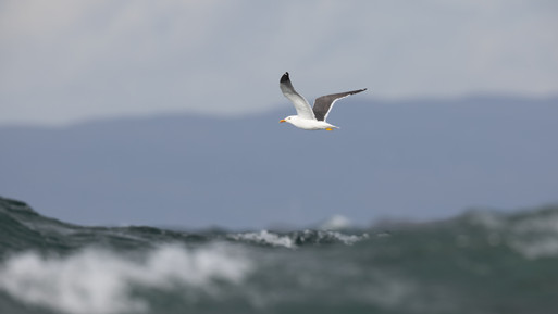 Sílamáfur - Lesser Black-backed Gull