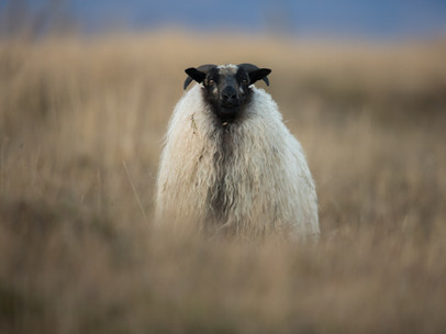 Sauðkind - Icelandic sheep