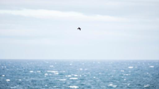 Lundi - Atlantic Puffin 2