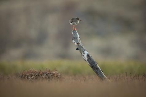 Stelkur - Redshank